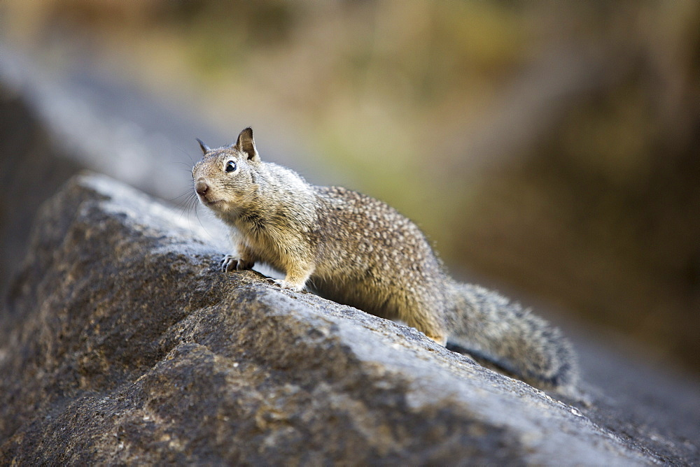 A Californian Ground Squirrel, Otospermophilus beecheyi, in Yosemite National Park, California, USA.