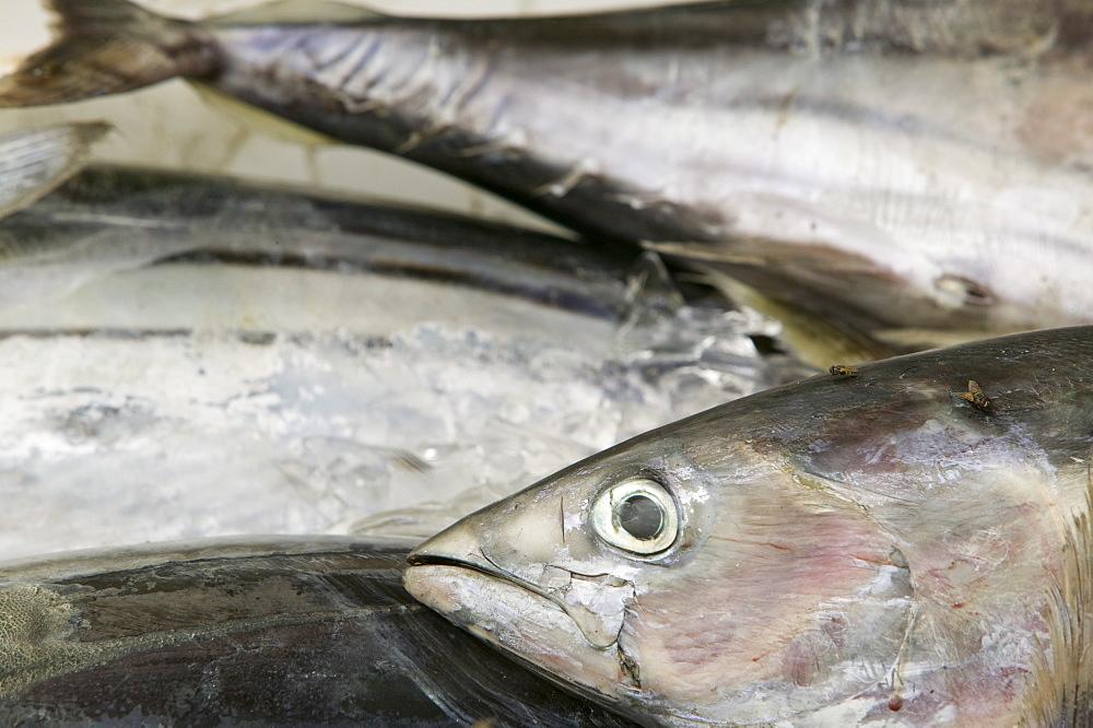 Tuna fish caught off Funafuti Atoll, Tuvalu, Pacific