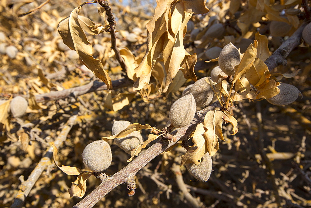 Almond groves being chopped down as there is no longer water available to irrigate them, in Wasco in the Central Valley of California following the four year long drought in the Western USA. 80% of the world's almonds are grown in California, and it takes 1.1 gallons of water to grow each nut. Many farms have run out of water, and $2.2 Billion has been wiped off the agricultue sector annually. Currently one third of all children in California go to be hungry, as a direct result of job losses connected to the drought. 428,000 acres of farmland have been taken out of production as a result of the drought, in the Central Valley.