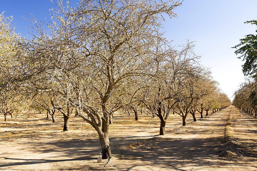 Dead and dying Almond trees in Almond groves in Wasco in the Central Valley of California after the irrigation water ran out following the four year long drought in the Western USA. 80% of the world's almonds are grown in California, and it takes 1.1 gallons of water to grow each nut. Many farms have run out of water, and $2.2 Billion has been wiped off the agricultue sector annually. Currently one third of all children in California go to be hungry, as a direct result of job losses connected to the drought. 428,000 acres of farmland have been taken out of production as a result of the drought, in the Central Valley.