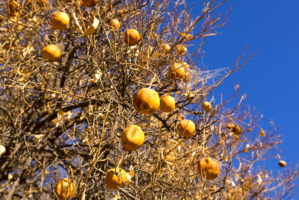 Abandoned dead and dying Orange trees that no longer have water to irrigate them near Bakersfield, California, USA. Following an unprecedented four year long drought, Bakersfield is now the driest city in the USA. Most of California is in exceptional drought, the highest level of drought classification. 428,000 acres of agricultural land have been taken out of production due to lack of water, thousands of agricultural workers have lost their jobs and one third of all children in California go to bed hungry.
