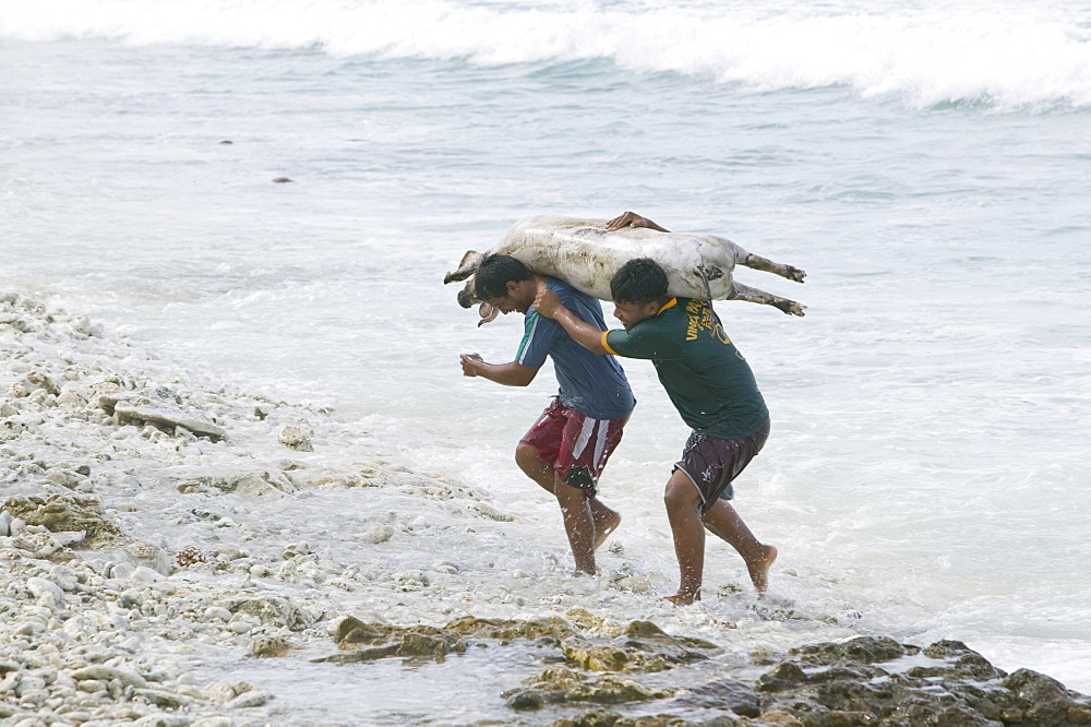 Tuvaluan men carrying a slaughtered pig from the sea after washing for a funeral feast on Funafuti Atoll, Tuvalu, Pacific