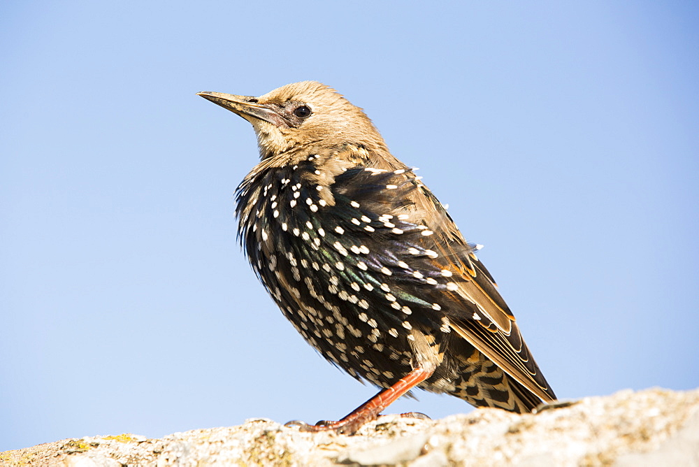 A Common Starling, Sturnus vulgaris in Seahouses, Northumberland, UK, moulting from Juvenile to adult plumage.