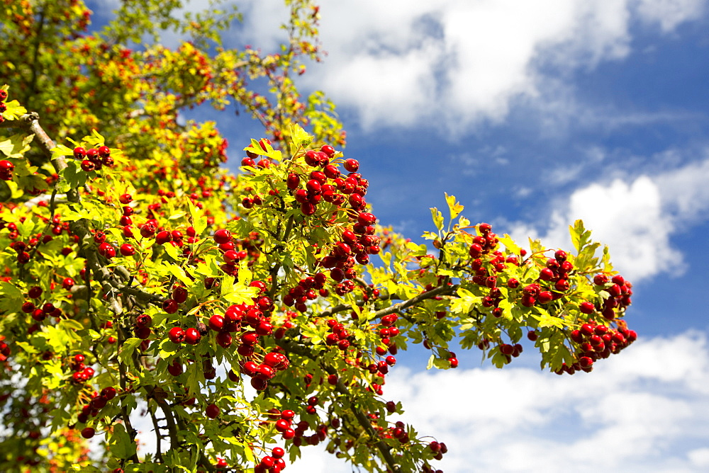 Hawthorn berries in the Vale of Evesham, Worcestershire, UK.