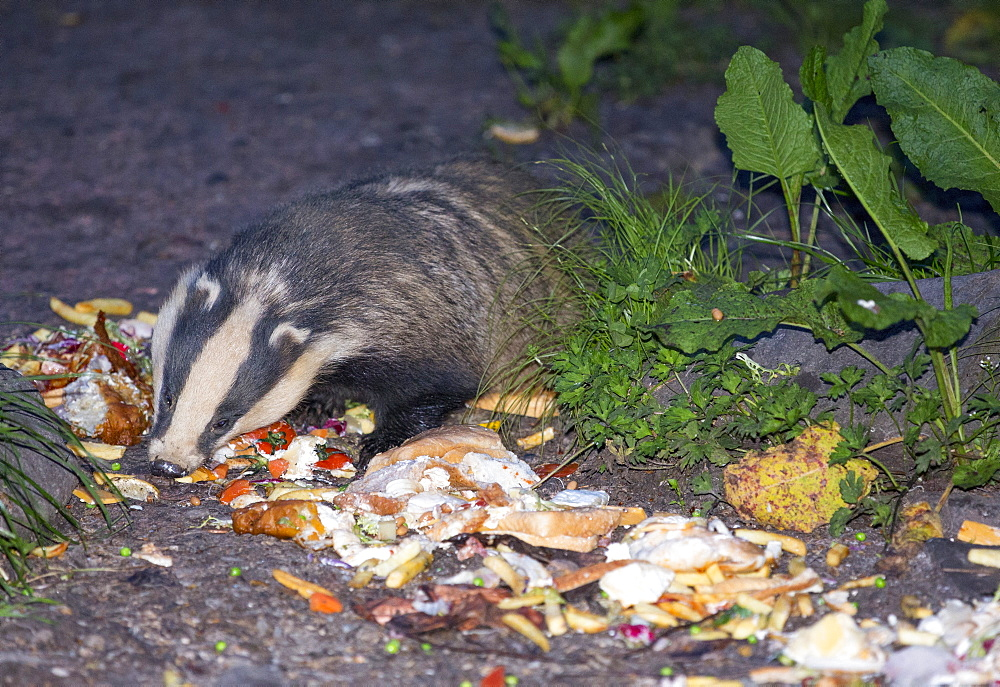 Badgers being fed on food waste from the restaurant of the Badger Bar at  Rydal, Lake District, UK.