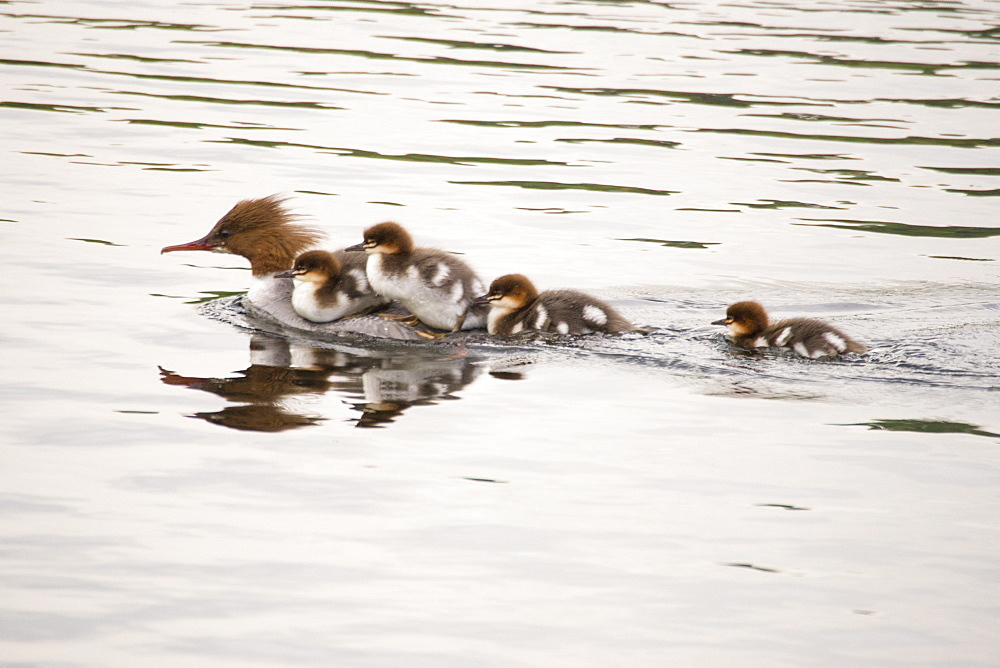 A female Goosander, Mergus merganser,with young ducklings hitching a ride on her back on the river Brathay, Ambleside, Lake District, UK,