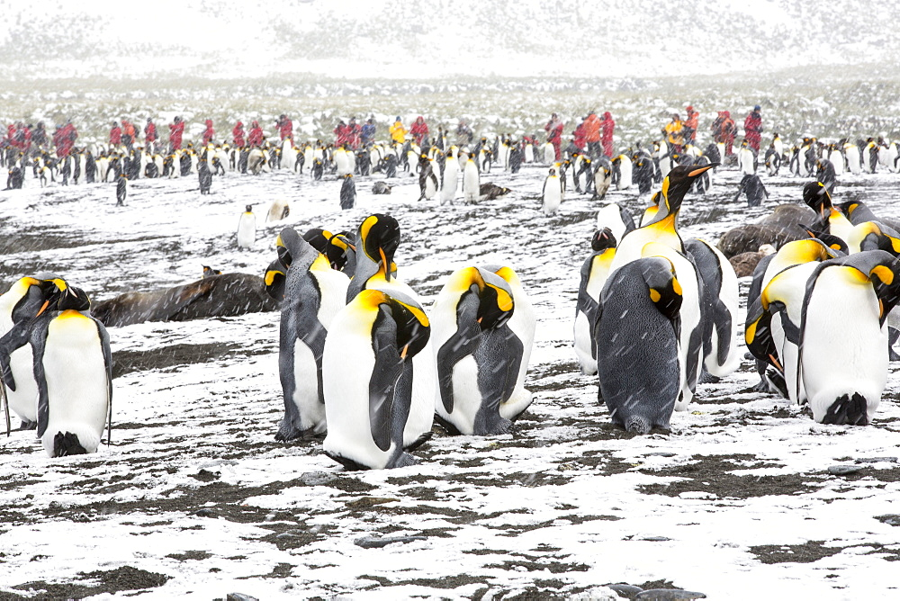 King Penguins at Gold Harbour, South Georgia, with passengers from an expedition cruise.