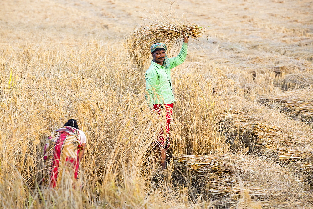 Rice crops harvested by hand in the Sunderbans, Ganges, Delta, India.