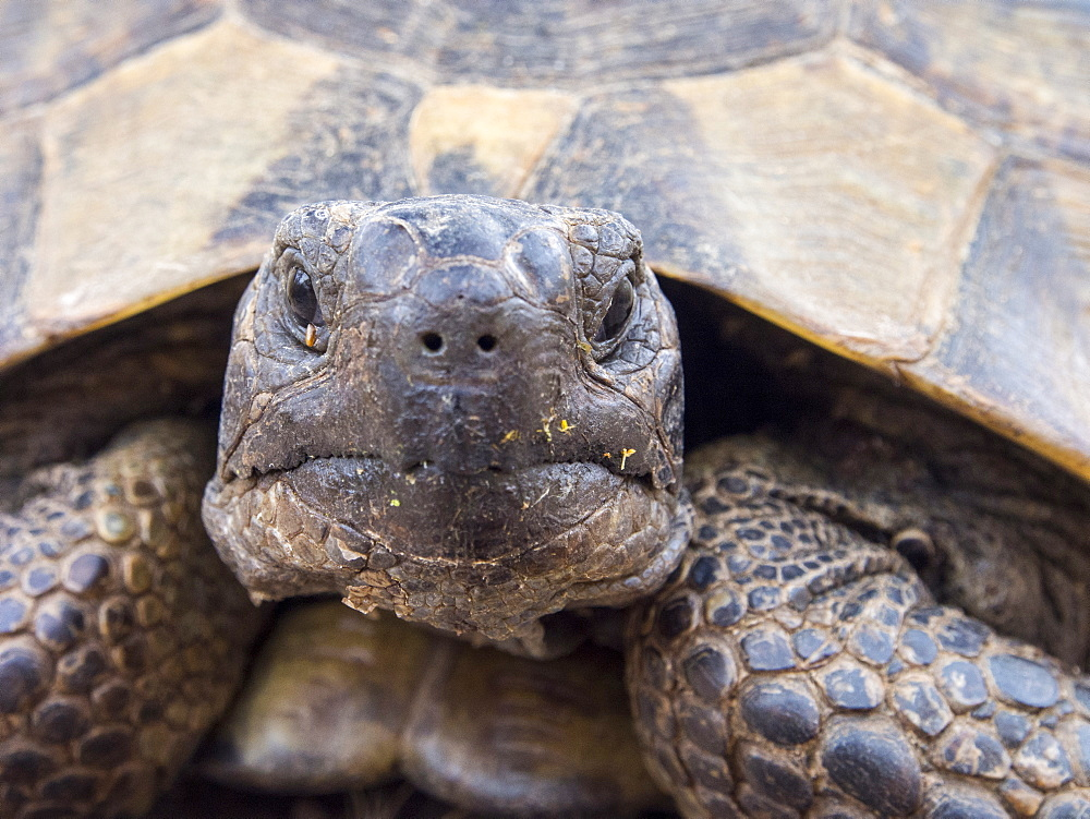 A Marginated Tortoise (Testudo marginata) on Lesvos, Greece.