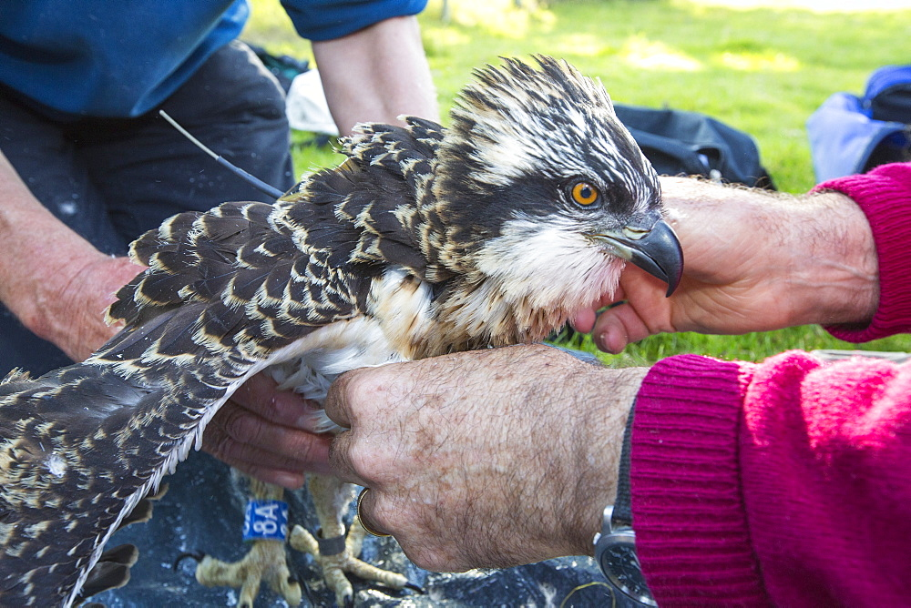 On Friday 11th July 2014, the Young Ospreys that nest on Bassenthwaite in the Lake District National Park, Cumbria, UK, are ringed and fitted with a satelite tracker. they are ringed by Pete Davis, a licensed bird ringer, and the satelite tracker is fitred by Roy Dennis. Roy is theonly person in the UK, licensed to fit satelite trackers to birds of prey. The tracing is part of the Bassenthwaite Osprey project, to see whereabouts in Africa the young migrate to, before returning hopefully to the UK to nest.Ospreys recolonized the Lake district in 2001, after an absence ovf over 150 years. In the last fourteen years of breeding over half a million people have visited the project to view these spectacular fish eating birds. - 911-10491