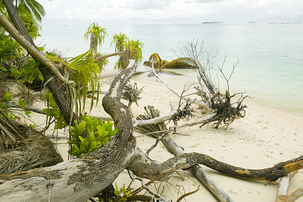 Trees knocked down by undercutting coastal erosion caused by global warming induced sea level rise on Tepuka island off Funafuti Atoll, Tuvalu, Pacific - 911-1052