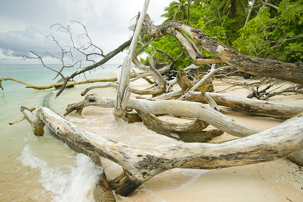 Trees knocked down by undercutting coastal erosion caused by global warming induced sea level rise on Tepuka island off Funafuti Atoll, Tuvalu, Pacific - 911-1053