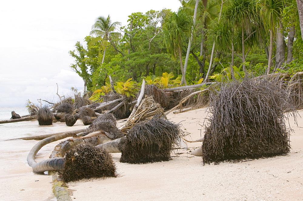 Trees knocked down by undercutting coastal erosion caused by global warming induced sea level rise on Tepuka island off Funafuti Atoll, Tuvalu, Pacific