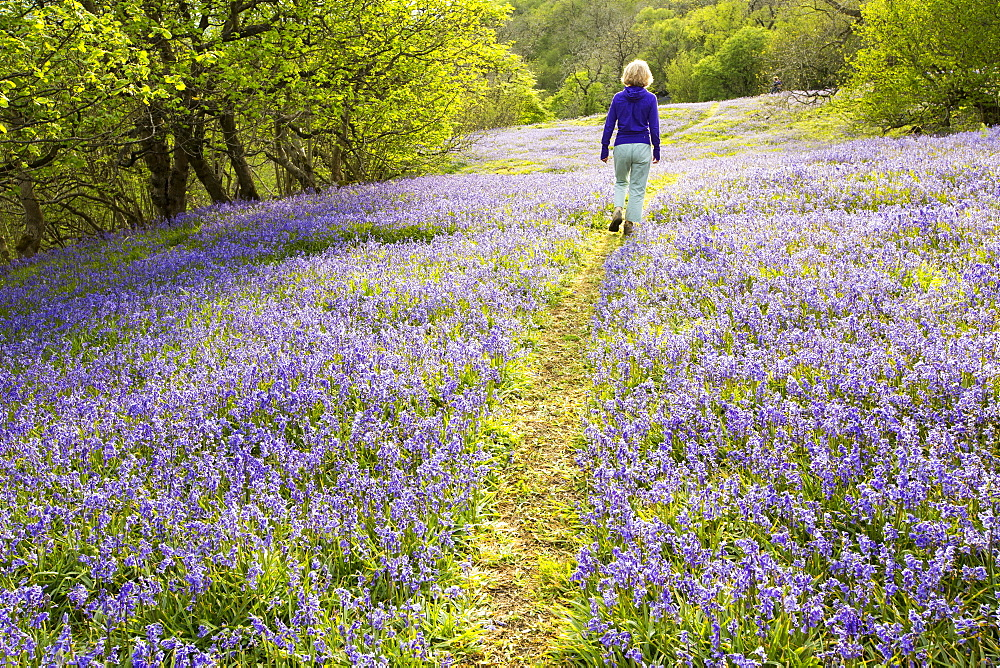 A woman walking through Bluebells growing on a limestone hill in the Yorkshire Dales National Park, UK.