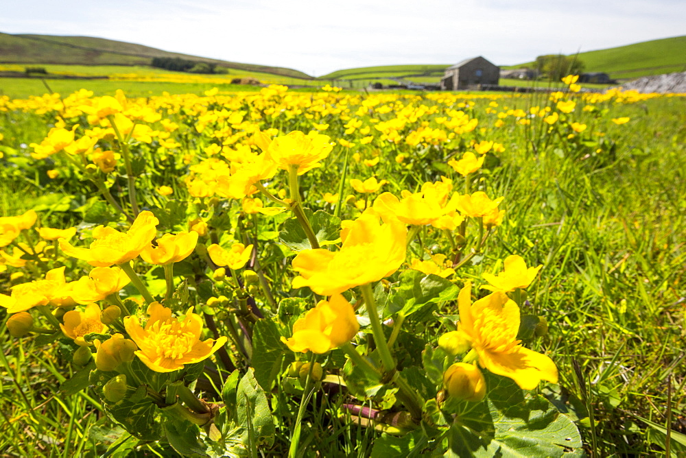 A field full of King Cups or marsh Marigold on the moor above Malham, Yorkshire Dales, UK.