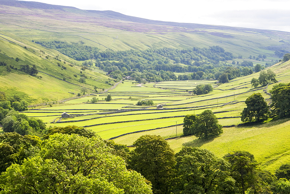 Littondale in the Yorkshire Dales with heather in bloom, UK.