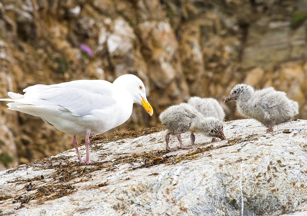A Glaucous Gull (Larus hyperboreus) and chicks at a nest on a cliff in northern Spitsbergen, Svalbard.