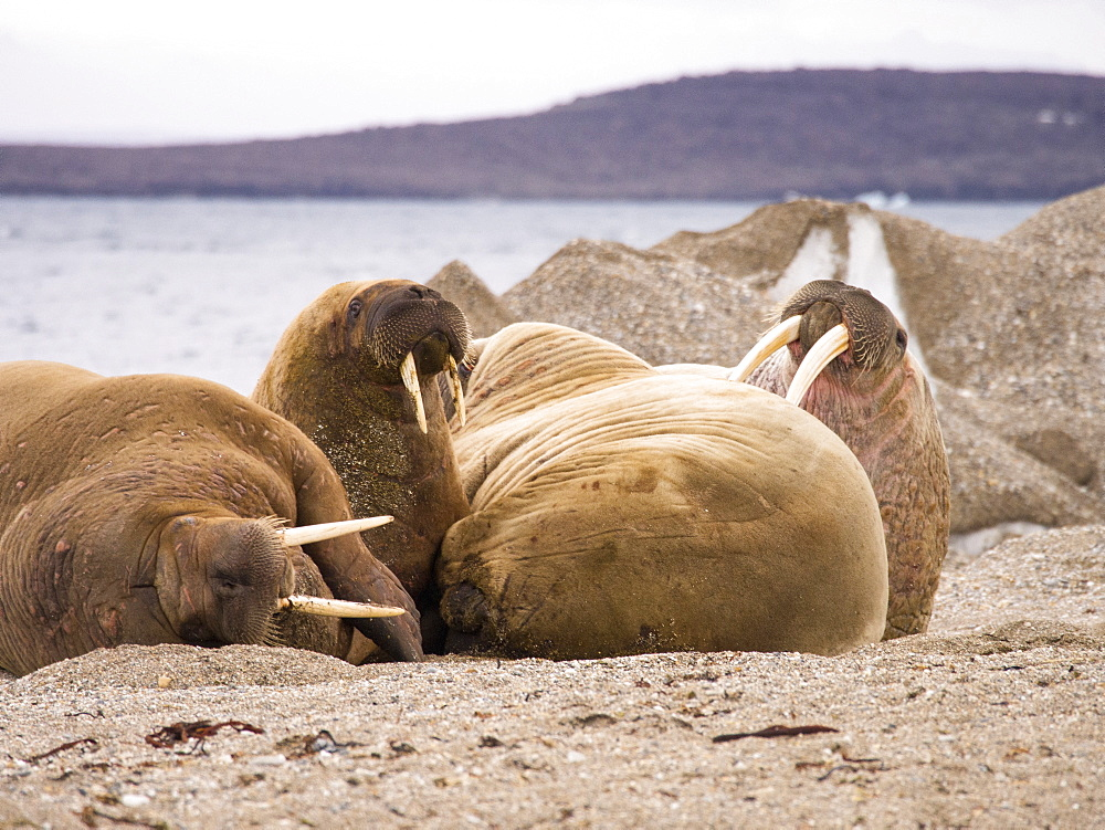 Walrus (Odobenus rosmarus) off a beach in northern Svalbard, once hunted to near extinction they are now recovering, only to be affected by climate change which reduces the sea ice they like to haul out on.