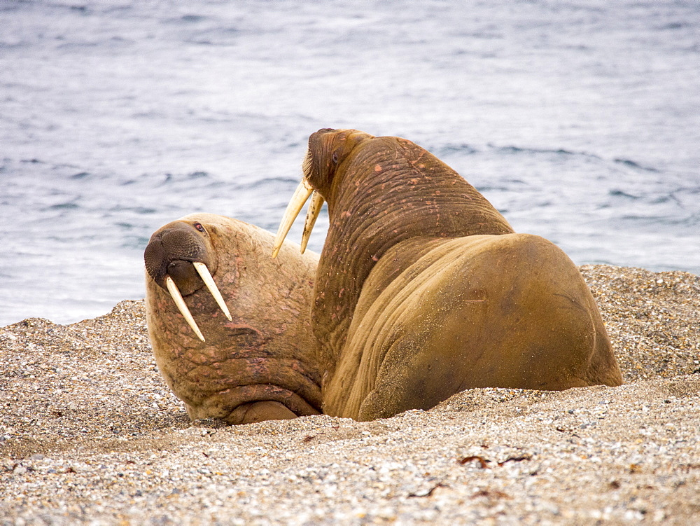 Walrus (Odobenus rosmarus) off a beach in northern Svalbard, once hunted to near extinction they are now recovering, only to be affected by climate change which reduces the sea ice they like to haul out on. - 911-10780