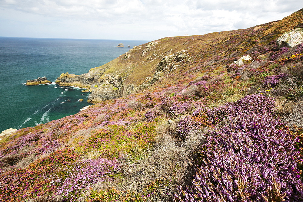 Bell Heather, Erica cinerea and Common Heather, Calluna vulgaris flowering on the cliffs at St Agnes, Cornwall, UK.