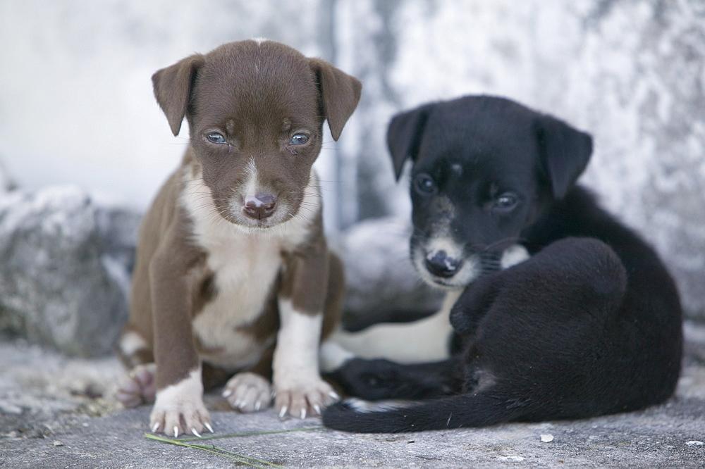 Feral puppies on Funafuti Atoll, Tuvalu, Pacific