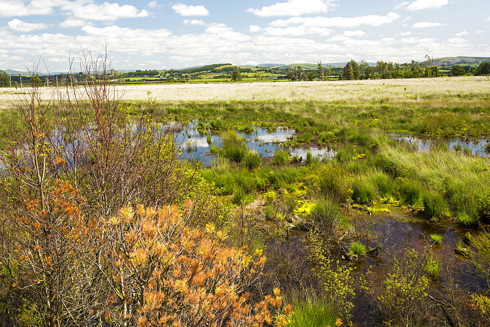 Foulshaw nature reserve, a lowland raised bog in South Cumbria, UK, planted by the forestry commission, years ago, it is now being restored to its former condition.