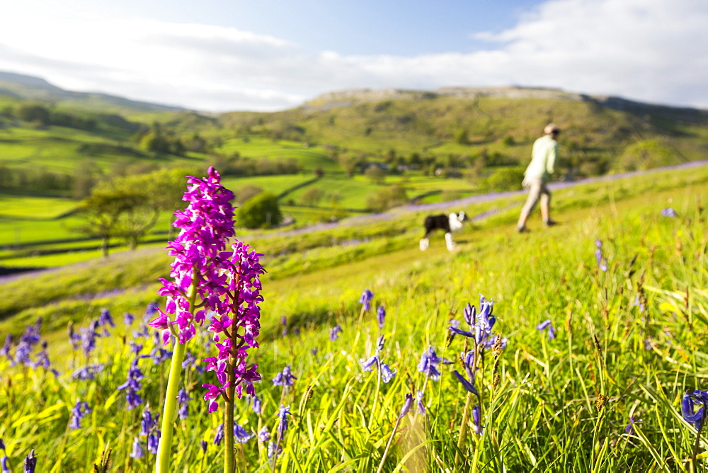 Bluebells and an Early Purple Orchid (Orchis mascula) above Austwick in the Yorkshire Dales, UK.