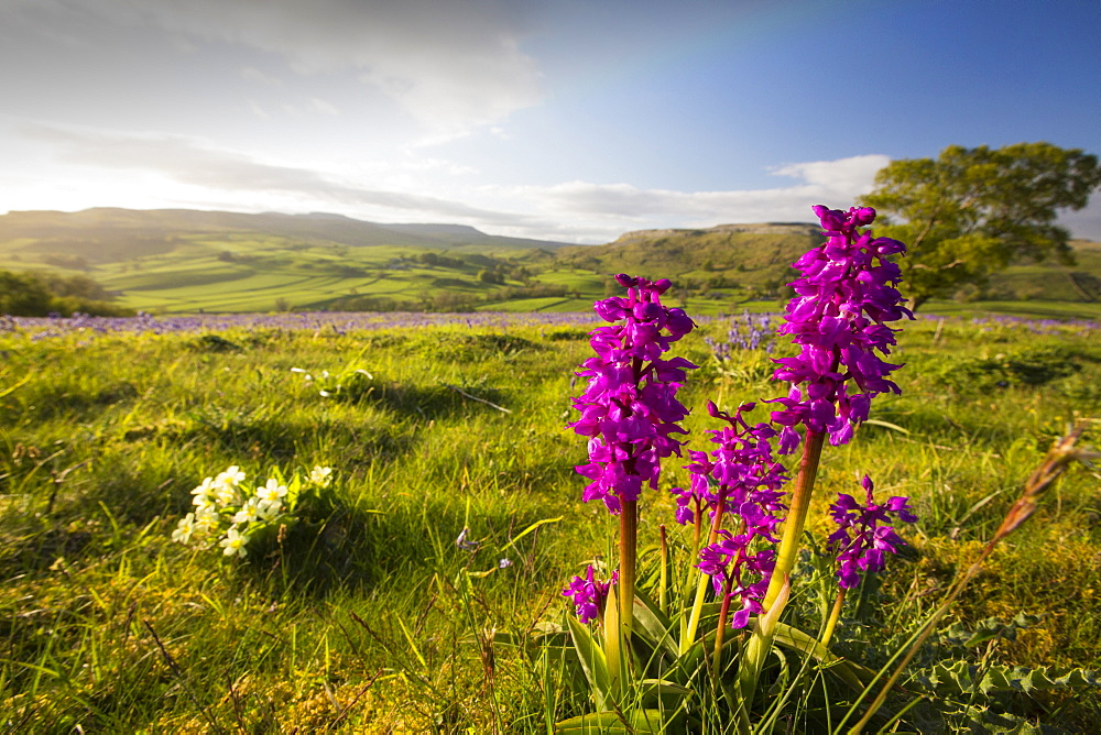 Bluebells, Primroses and an Early Purple Orchid (Orchis mascula) above Austwick in the Yorkshire Dales, UK.