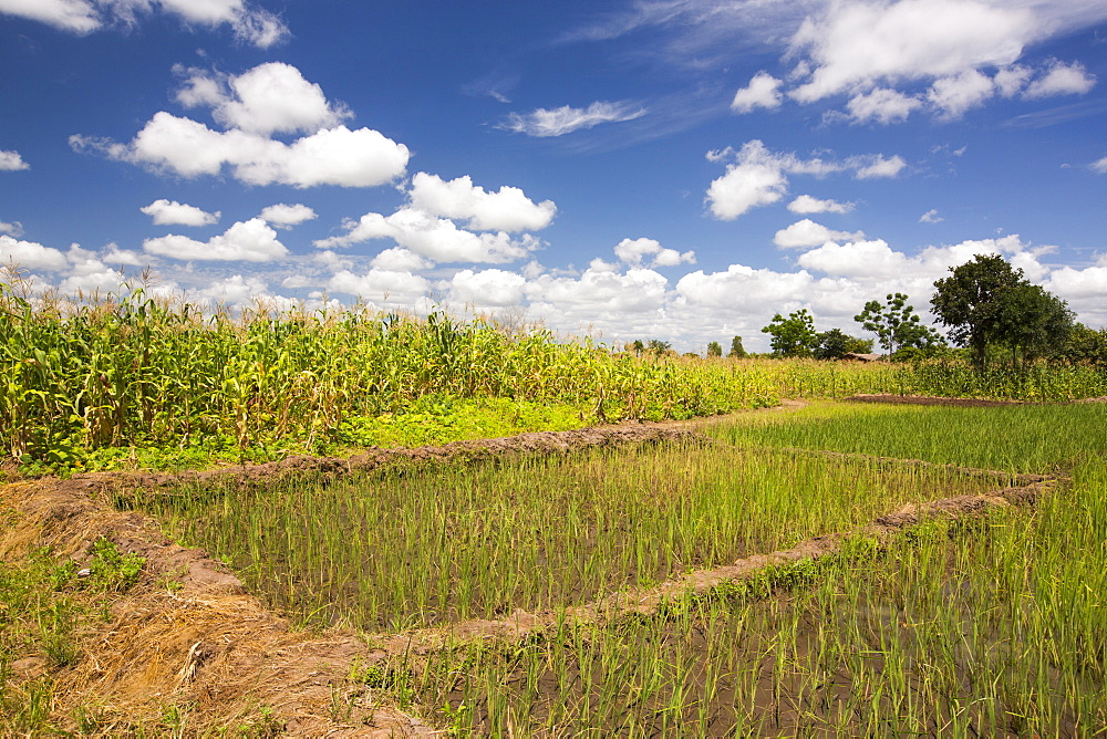 Maize crops and rice in Malawi, Africa.