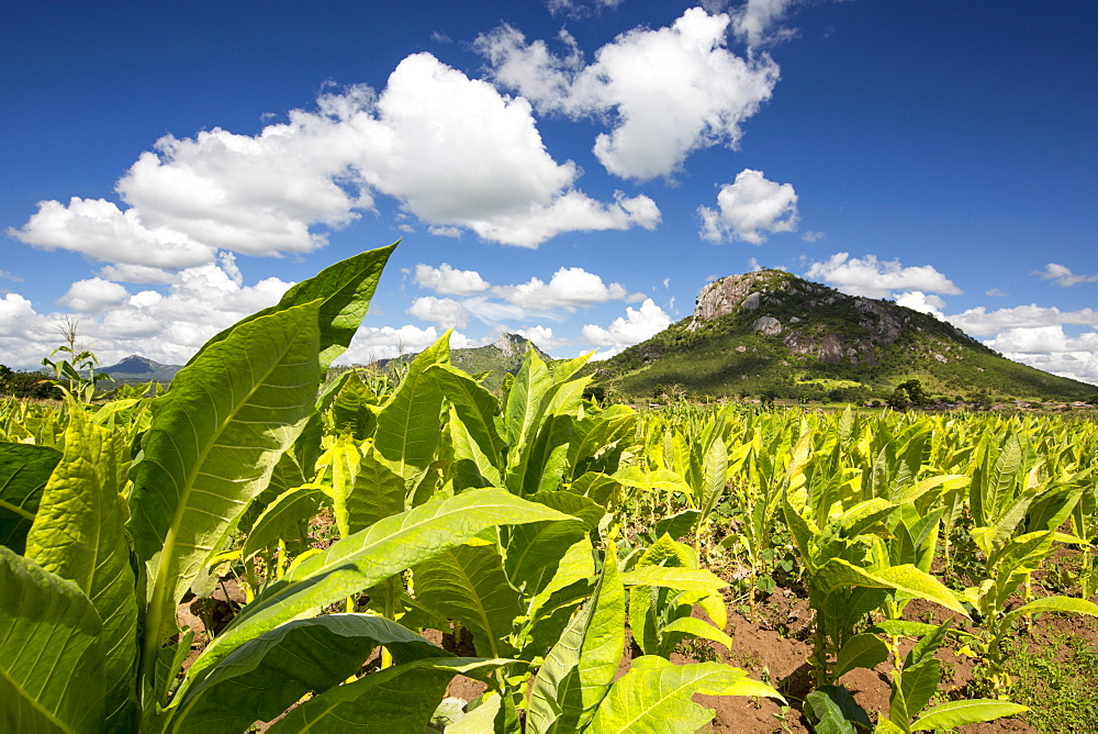 Tobacco being grown as a cash crop in Malawi, Africa.