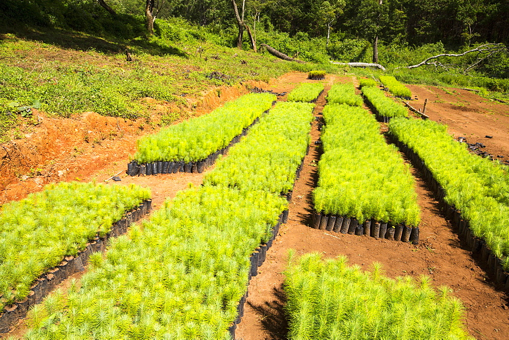 A tree nursery on the Zomba Plateau, Malawi, Africa. - 911-10925