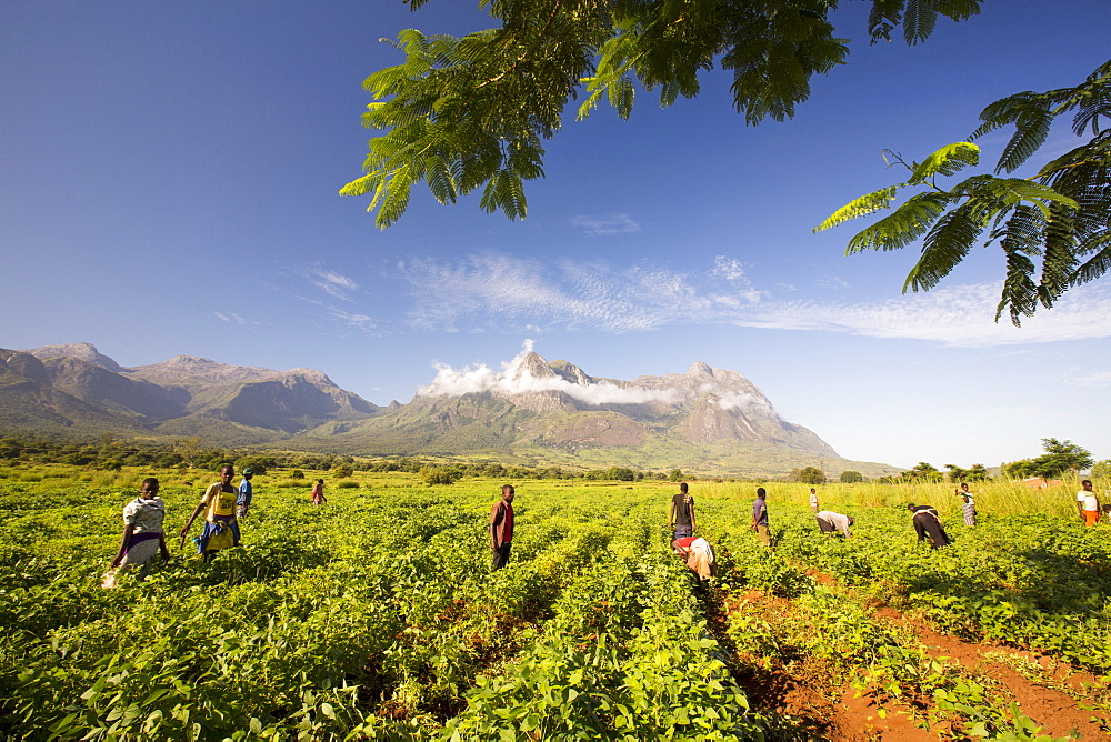 Malawian workers toil in a crop of soay below Mount Mulanje. In this poorest of African countries, many agricultural workers earn less than £1 a day. - 911-10931