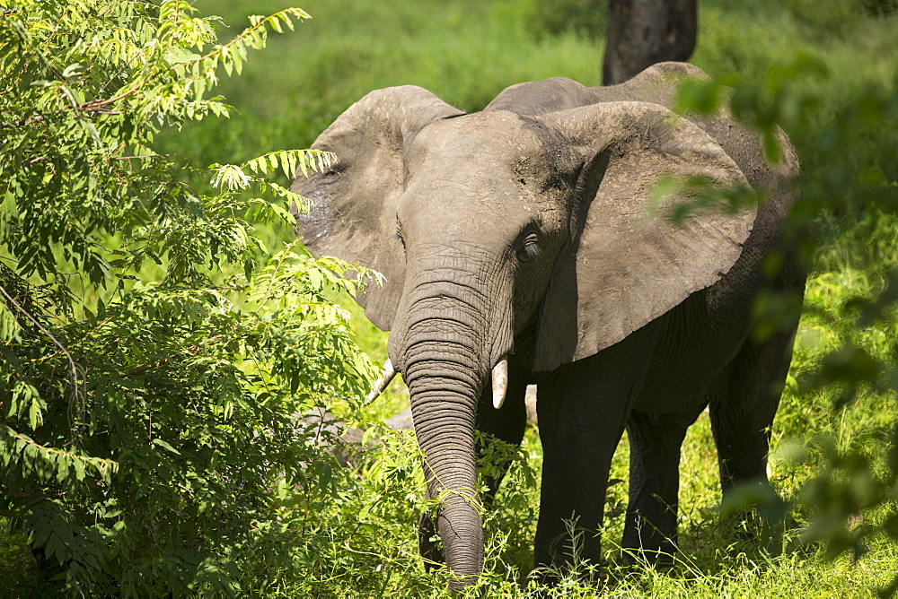 African Elephants in Majete Wildlife Reserve in the Shire Valley, Malawi.
