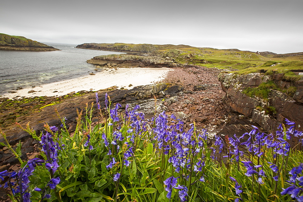 Bluebells on Rubha Coigeach in Assynt, Scotland, UK.