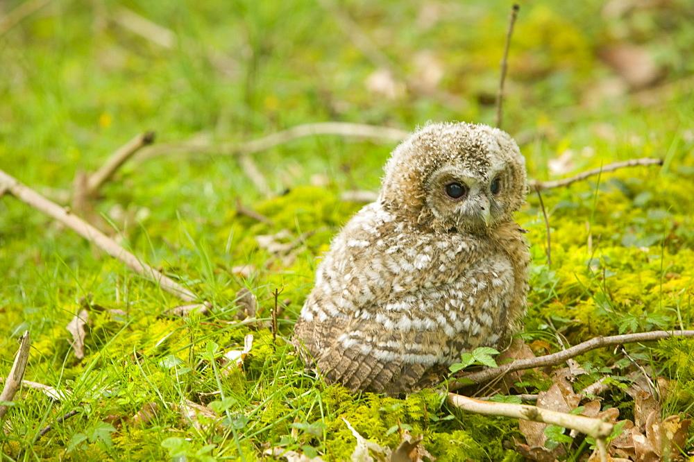 A young Tawny Owl Chick on a woodland floor, Ambleside, Cumbria, England, United Kingdom, Europe