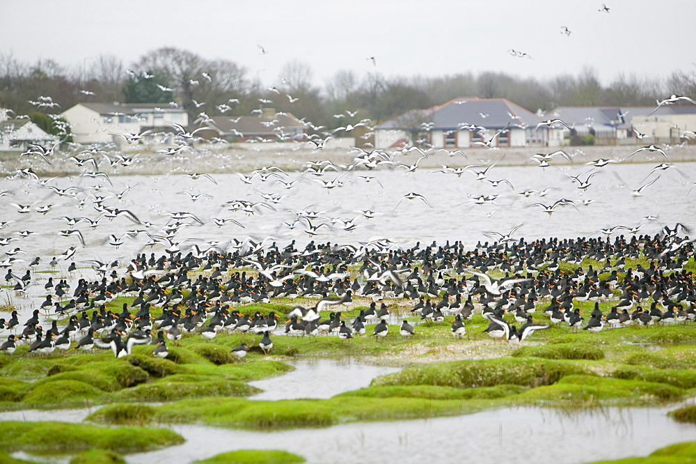 Oystercatchers roosting at high tide at Hest Bank, Morecambe Bay, Lancashire, England, United Kingdom, Europe
