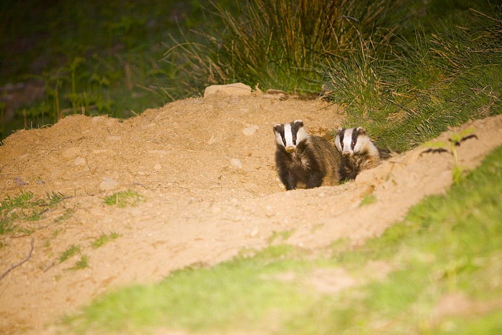 Badgers in Ambleside, Lake District, Cumbria, England, United Kingdom, Europe