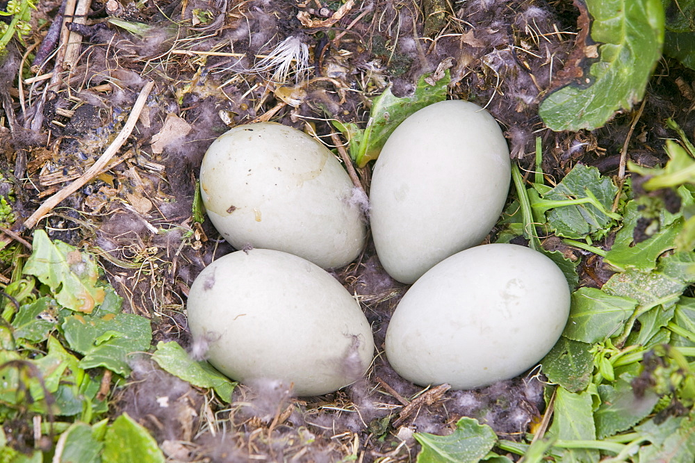 An eider duck's nest on Walney Island near Barrow in Funress, Cumbria, England, United Kingdom, Europe