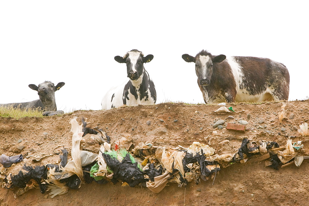 Plastic bags concealed in an old landfill rubbish dump are revealed as the edge of Walney Island off Barrow in Furness is eroded away, Cumbria, England, United Kingdom, Europe - 911-1930