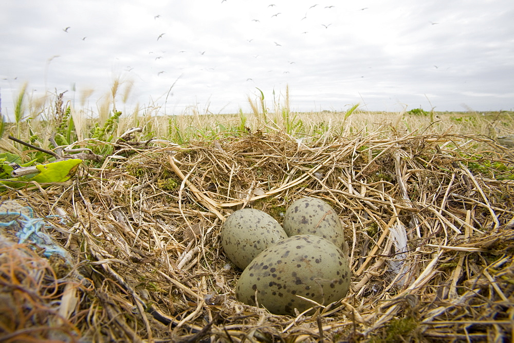 A lesser black backed gull's nest on Walney Island near Barrow in Funress, Cumbria, England, United Kingdom, Europe