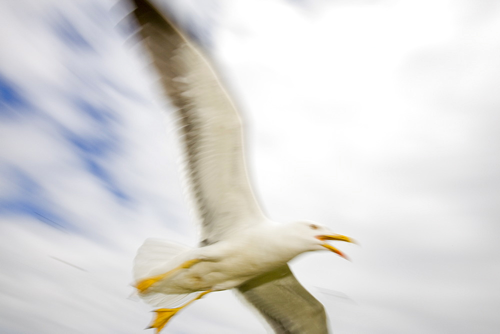 A Lesser Black Backed Gull attacking an intruder near its nest on Walney Island near Barrow in Funress, Cumbria, England, United Kingdom, Europe