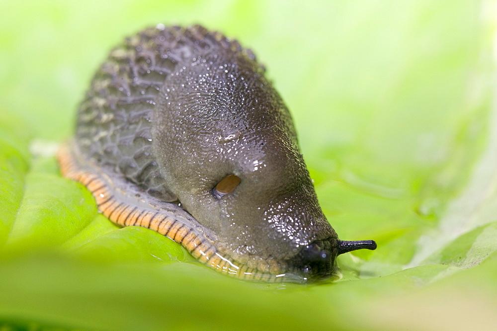 A garden slug, United Kingdom, Europe
