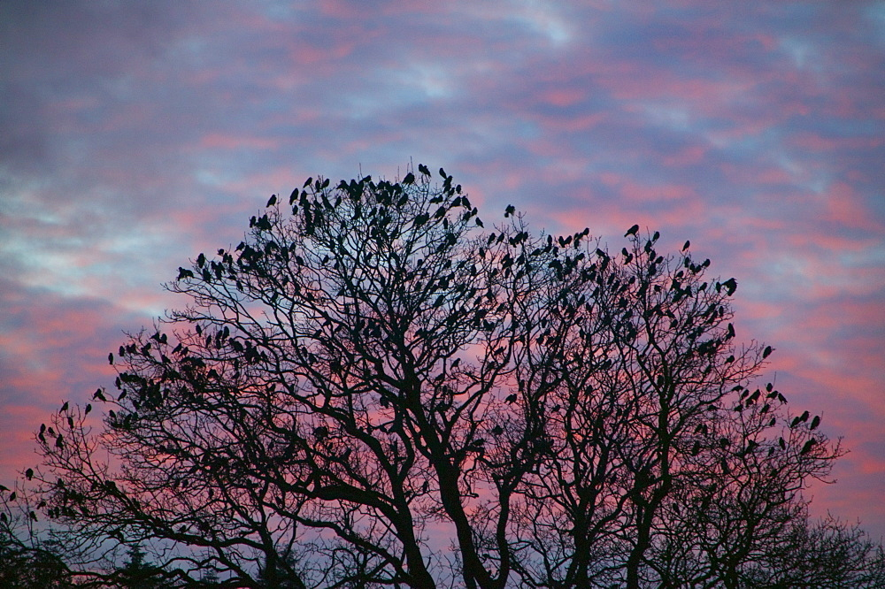 Rooks and jackdaws at sunset, Cumbria, England, United Kingdom, Europe