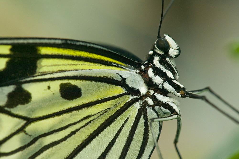 A Mormon swallowtail butterfly - 911-2124