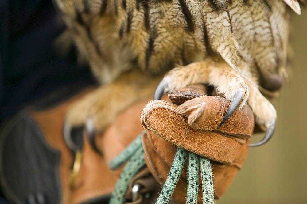An European eagle owl and handler, World Owl Centre, Muncaster, Cumbria, England, United Kingdom, Europe
