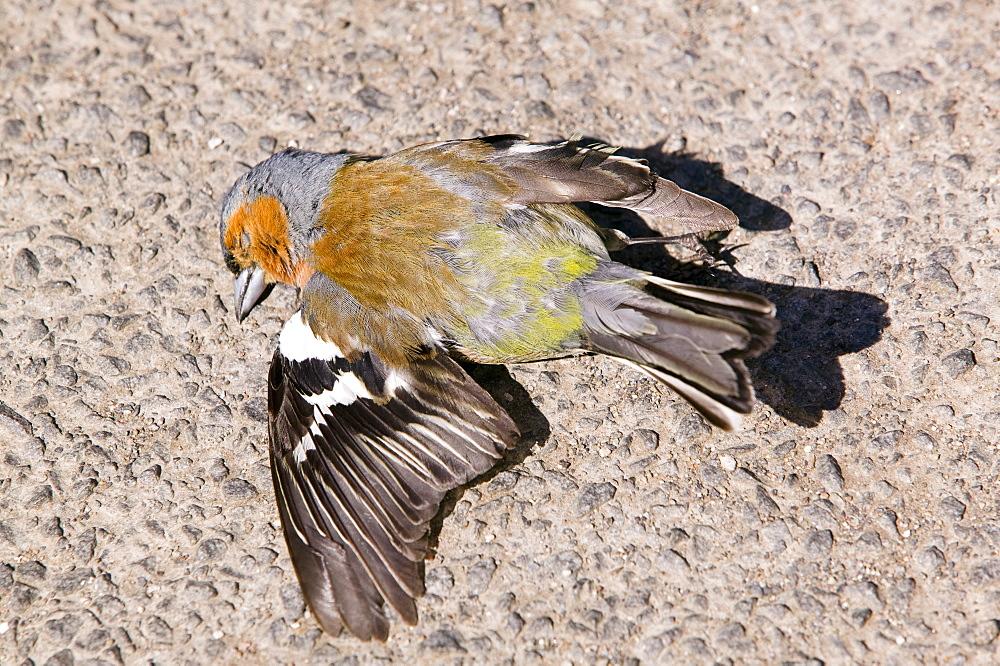 A road kill chaffinch, United Kingdom, Europe