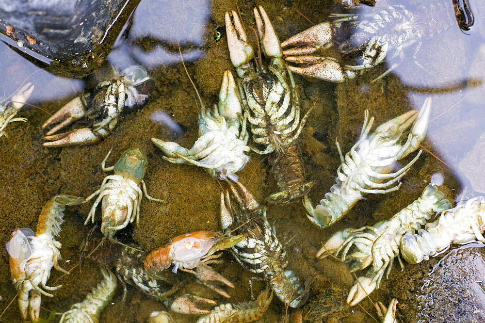 Rare native white clawed crayfish killed by an illegal chemical spill on the river Mint near Kendal, Cumbria, England, United Kingdom, Europe