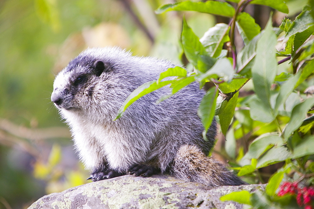 A hoary marmot in the Kenai Fjords National Park in Alaska, United States of America, North America