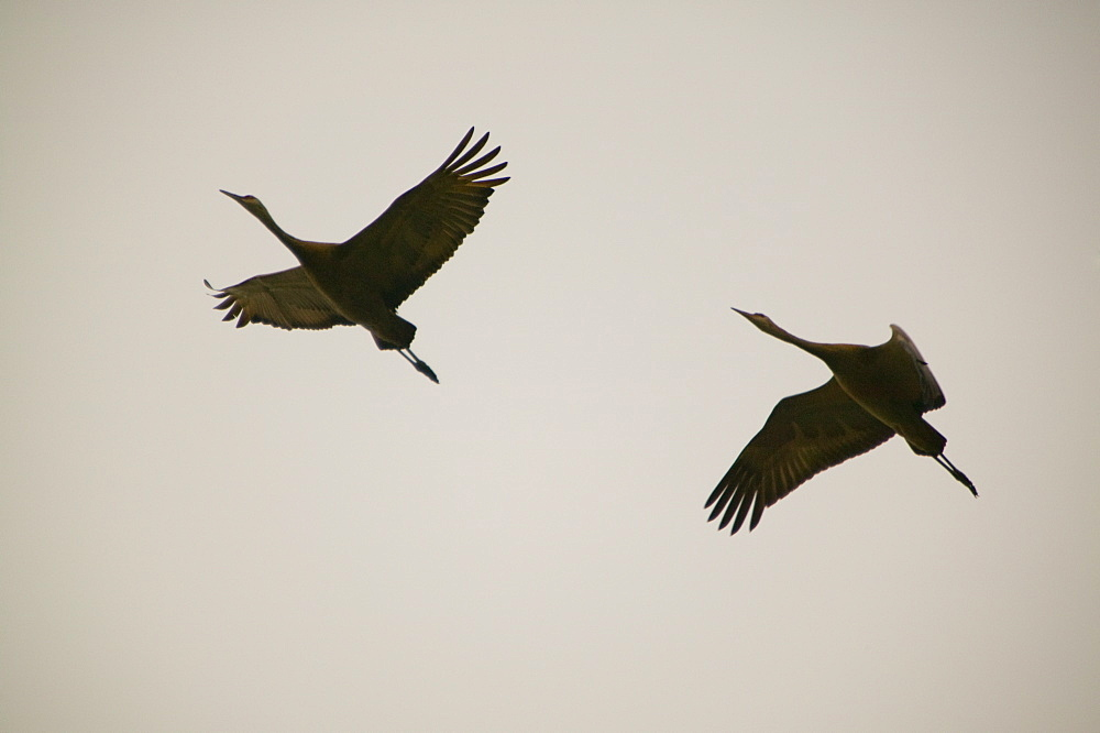 Sandhill cranes in Fairbanks, Alaska, United States of America, North America