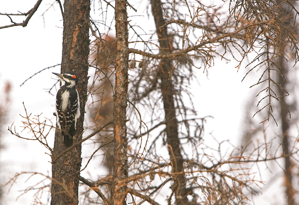 A Downy woodpecker searches vainly for food in a burnt out forest neasr Fairbanks, Alaska, United States of America, North America